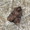 (2343) Common Rustic (Mesapamea secalis) (7599663828).jpg