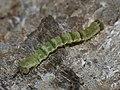 ?Gagitodes sagittata (larva) - Marsh carpet (caterpillar) - Ларенция василистниковая (гусеница) (26078571057).jpg