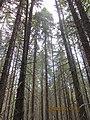 Березы доминировать в лесу - panoramio.jpg