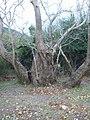 Большое дерево у берегов Эгейского моря-02.JPG