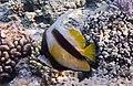 Вымпельная рыба-бабочка Кабуба, Heniochus, Heniochus intermedius..DSCF4760ОВ.jpg