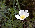 Дивногорье Травы Фото6 Ветреница лесная.jpg