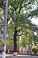 Дуб скельний по вулиці Галицького, 3 у Кам'янець-Подільському.jpg