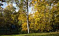 Желтый лес - Yellow forest - panoramio.jpg