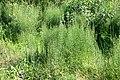 Кингисепп, хвощ у ЖД.jpg