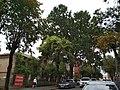 Красень дуб 3.jpg