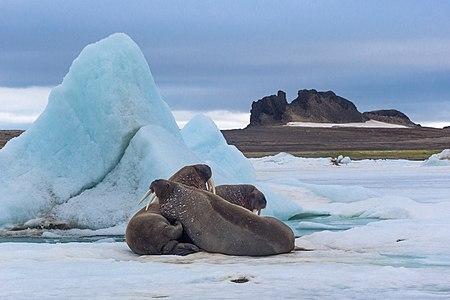 Walruses in Franz Joseph Land Reserve, Arkhangelsk Oblast, Russia