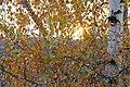 Непран Вячеслав, Осинівська ботанічна Пам'ятка природи, Береза, 44-251-5009, 49°35'30.6N 39°03'55.8E.jpg
