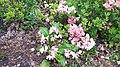 Рододендрон у ботанічному саду.jpg