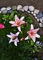 Цветут лилии (162675211).jpeg