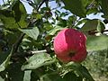Червоне яблуко (13692684585).jpg