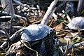 Черепахи в Олександрії1.jpg