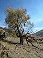 درخت زیبای چنار - panoramio.jpg