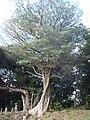 イスの木.jpg