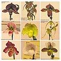 兜蘭 Paphiopedilum cultivars 2 -台南國際蘭展 Taiwan International Orchid Show- (40006533645).jpg