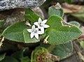 墨苜蓿(擬鴨舌癀) Richardia scabra -台灣車埕 Checheng, Taiwan- (15691894362).jpg