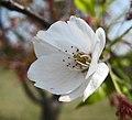 大葉早櫻 Cerasus subhirtella -上海辰山植物園 Shanghai Chenshan Botanical Garden- (17058167230).jpg