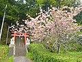 宇陀市菟田野宇賀志にて 八坂神社の鳥居と八重桜 Double cherry blossoms in Utano-Ukashi 2011.5.06 - panoramio.jpg