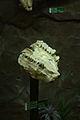 小齿古麟 Palaeotragus microdon 1.jpg
