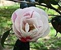 山茶花-重瓣玫瑰型 Camellia japonica Double Rose Form -日本京都植物園 Kyoto Botanical Garden, Japan- (26727403217).jpg
