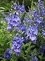 捲毛婆婆納 Veronica teucrium -哥本哈根大學植物園 Copenhagen University Botanical Garden- (36979369331).jpg