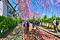 日中線のしだれ桜 01.jpg