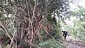 木蔻山上的老树.jpg
