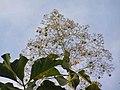 柚木 Tectona grandis -香港梅樹坑公園 Mui Shue Hang Park, Hong Kong- (9219895065).jpg