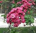歐洲紅花山楂 Crataegus laevigata -巴黎植物園 Jardin des Plantes, Paris- (9207616274).jpg