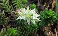 白花小松 Villadia batesii -比利時國家植物園 Belgium National Botanic Garden- (9237375025).jpg