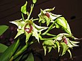 石斛蘭 Dendrobium Roy Tokunaga -香港沙田洋蘭展 Shatin Orchid Show, Hong Kong- (9222654626).jpg