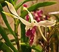 石斛蘭 Dendrobium Samurai 'Kuo Hui' -香港沙田洋蘭展 Shatin Orchid Show, Hong Kong- (30638201064).jpg
