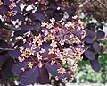 美國紅櫨 Cotinus coggygria Royal Purple -巴黎植物園 Jardin des Plantes, Paris- (9193428258).jpg