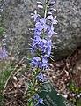 羽葉婆婆納 Veronica pinnata -哥本哈根大學植物園 Copenhagen University Botanical Garden- (36901524701).jpg
