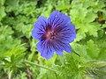 老鸛草 Geranium Alan Mayes -挪威 Utne, Norway- (35221583424).jpg