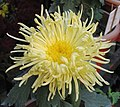 菊花-岸之祝延 Chrysanthemum morifolium -中山小欖菊花會 Xiaolan Chrysanthemum Show, China- (11962009946).jpg