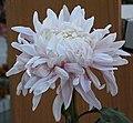 菊花-白金蓮 Chrysanthemum morifolium 'White Golden Lotus' -香港房委樂富花展 Lok Fu Flower Show, Hong Kong- (12010293594).jpg