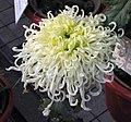 菊花-綠鸚鵡 Chrysanthemum morifolium 'Green Parrot' -中山小欖菊花會 Xiaolan Chrysanthemum Show, China- (12064622375).jpg