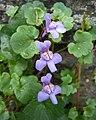 蔓柳穿魚(鐃鈸花) Cymbalaria muralis -挪威 Utne, Norway- (35671913940).jpg