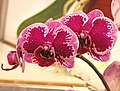 蝴蝶蘭 Phalaenopsis OX Happy Girl -台南國際蘭展 Taiwan International Orchid Show- (39129453900).jpg