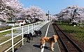 谷汲口駅の桜 - panoramio (1).jpg