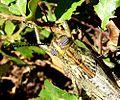 .Male. Anacridium aegyptium - Flickr - gailhampshire.jpg