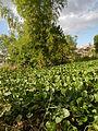 04506jfDomesticated Water Hyacinth Pescadores Poblacion Candaba Pampangafvf 08.JPG