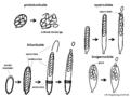 04 03 04 types of asci, Ascomycota (M. Piepenbring).png