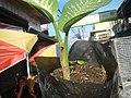 0546La Suerte lucky plant in the Philippines 07.jpg