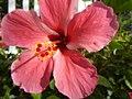 0985jfHibiscus rosa sinensis Linn White Pinkfvf 11.jpg