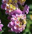 18Honey-Bee-on-Lantana-camara.jpg