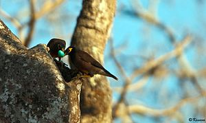 Common myna - Common myna evicting a nest of jungle babbler. Breaking the eggs of jungle babbler.