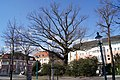 1 Stieleiche (Schillerpark) - 03.JPG