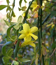 2006-11-16Jasminum nudiflorum01.jpg